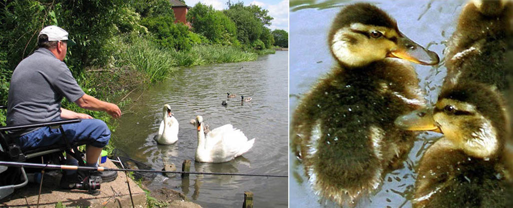 Fisherman, swans and ducklings at Sutton Mill Dam, St.Helens